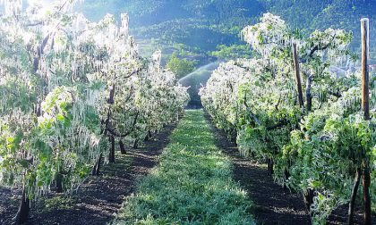 Gelo e siccità, -40% la produzione di mele