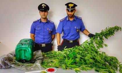 Piantagione di marijuana nei boschi di Tartano