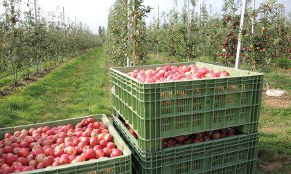 Partita in anticipo la raccolta delle mele