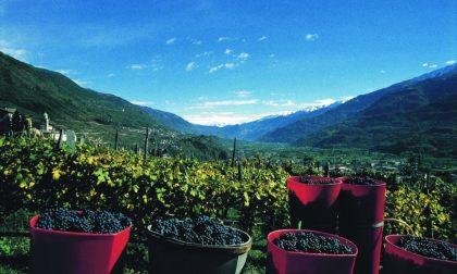 Brillano i vini di Valtellina, pioggia di riconoscimenti