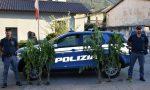 Scoperta una piantagione di marijuana