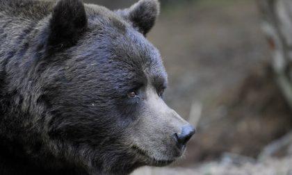 E' morto l'orso Orfeo – LE FOTO