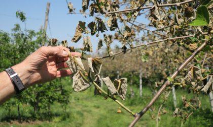 Gelate primaverili, danni ai kiwi