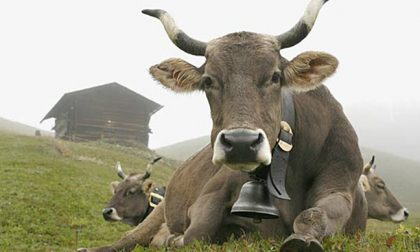 Grosio, mostra dedicata alle mucche