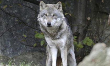 Lombardia approva mozione per la conservazione del lupo