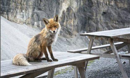 La volpe Foxy torna sui social