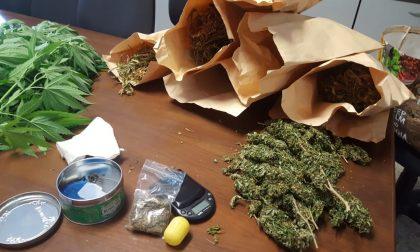 Sequestrate piante di marijuana in un fienile