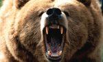 Padre e figlio aggrediti da un orso in Trentino, è lo stesso che si aggirava sul Mortirolo?