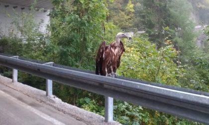 """Un """"condor"""" fotografato in Valchiavenna"""