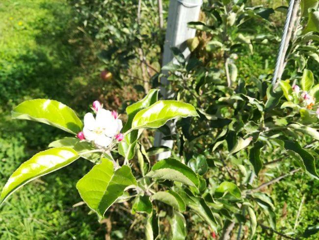Ottobre pazzo e i meleti rimettono i fiori