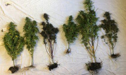 Con le piante di marijuana in casa, arrestato 36enne valtellinese