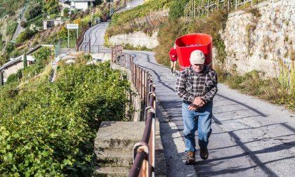 Vendemmia 2019 in Valtellina, per ora l'annata è medio precoce
