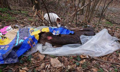 Vitello mutilato e abbandonato nel bosco