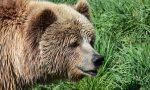 Orso in Valtellina: animali attaccati al pascolo