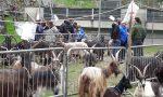 La capra orobica piace ai giovani FOTO