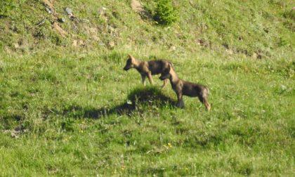 Lupi fotografati vicino alla Valchiavenna FOTO