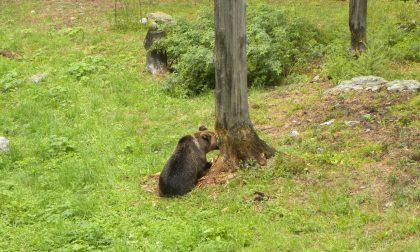 Gli orsi si ambientano all'Aprica