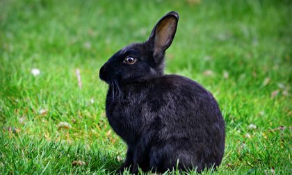 Malattia emorragica dei conigli, aumentano i casi in Val Poschiavo