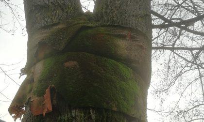 Taglio dei pini a Tirano
