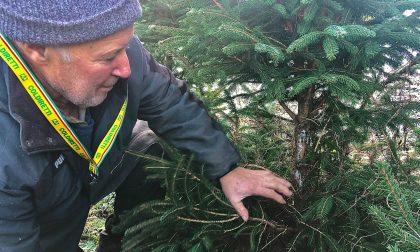 A Carlazzo abeti di Natale devastati dai selvatici