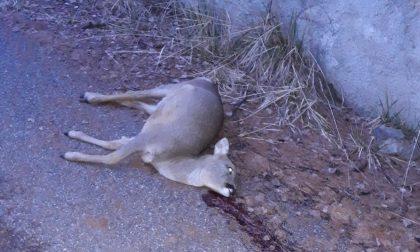 Il dramma di un capriolo trovato morto a Santa Lucia