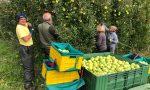 Mele, in Valtellina stagione positiva: qualità alta e buone pezzature