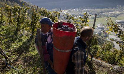 Vendemmia e malattie della vite: incontro formativo per i viticoltori