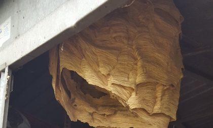 Nel capanno un nido di calabroni da record