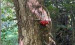 Trappole a scatto fissate su alberi, scoperto bracconiere