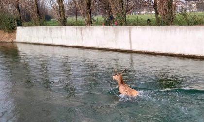 Video del cervo in fuga nel naviglio: salvato, poi però muore per lo stress