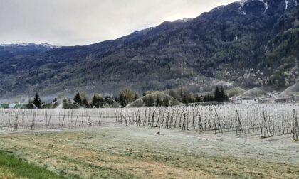 Gelate e maltempo: appello alla Regione per salvare le mele della Valtellina