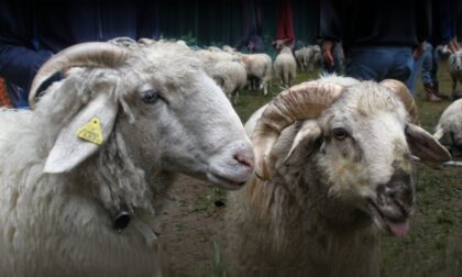 Convegno sulla pecora Ciuta