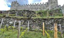 Ecco i primi tre vini con le uve del vigneto del Castello di Grosio