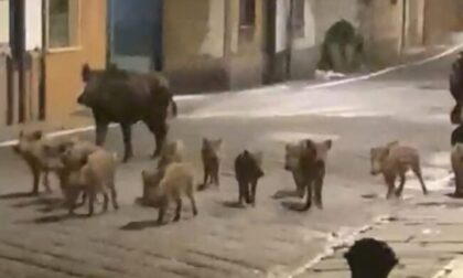 Mamma, papà e 12 figli: il video della famiglia di cinghiali a spasso in paese