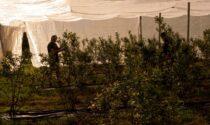 La Cooperativa vitivinicola di Montagna, Poggiridenti e Ponchiera cresce e apre ai piccoli frutti