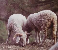 Un convegno per conoscere la pecora ciuta