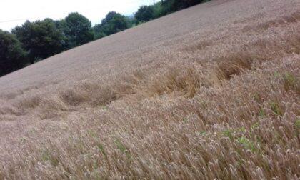 Cerchi nel grano comparsi accanto a una cascina in Brianza