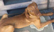 Si cerca Hera, cagnolina scappata a Sondrio