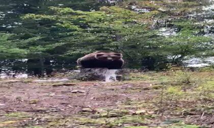 Orso avvistato a Campodolcino: è una bufala, ma il video impazza sul web